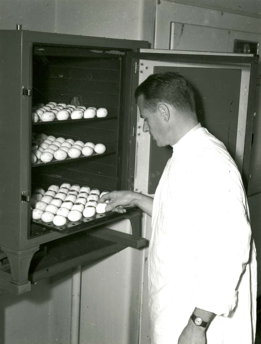 Dr Beveridge standing at open incubator, pulling out and inspecting one of three trays of eggs.