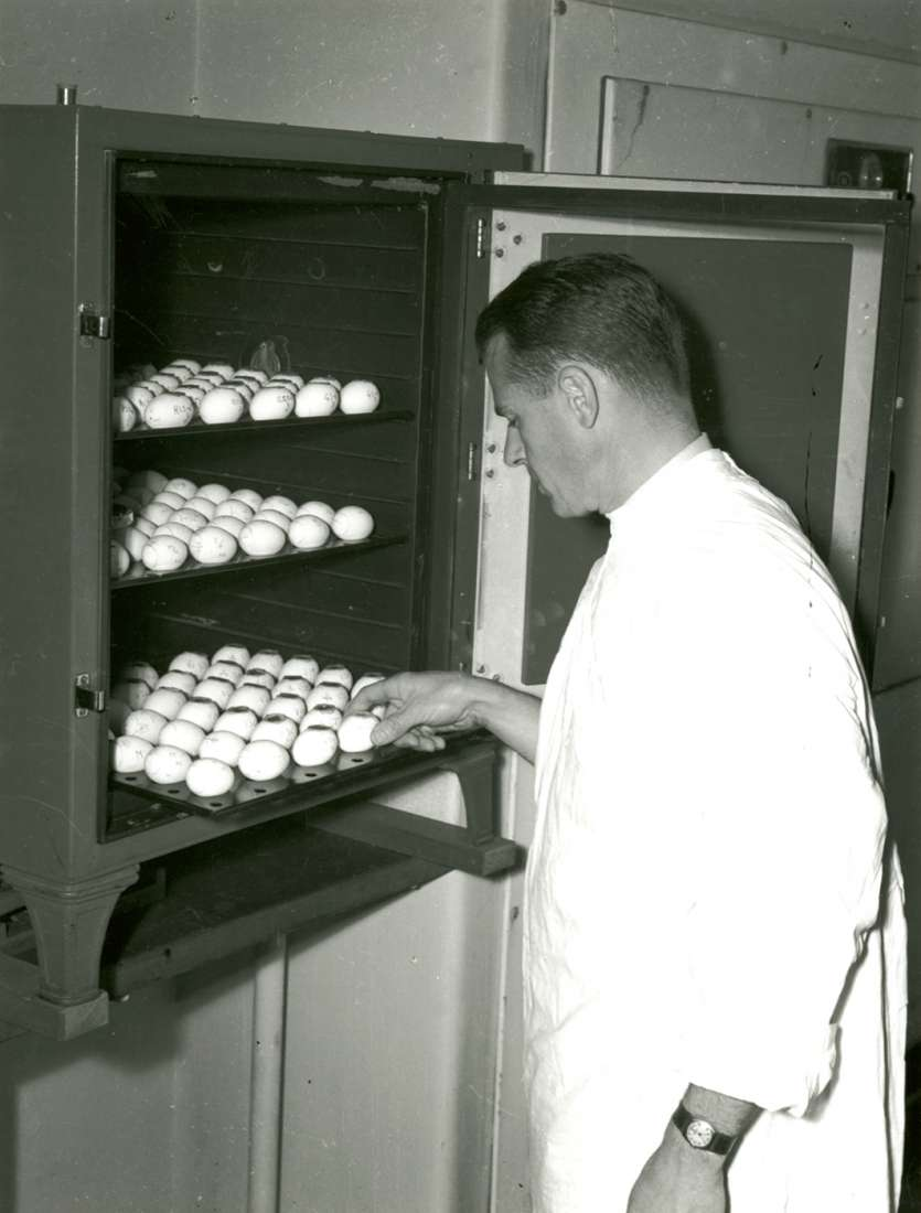 Black and white photograph, Beveridge handles eggs in cabinet.