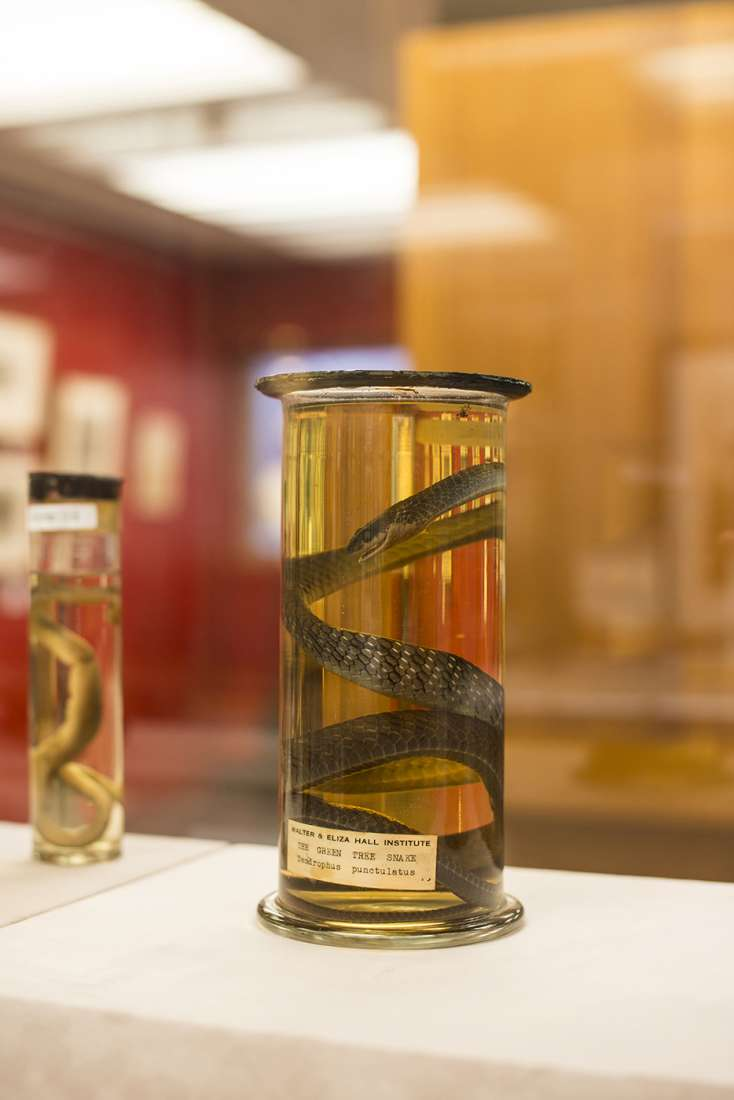 A snake used in institute research is preserved and displayed in a museum exhibition